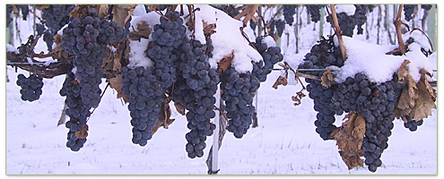 Ice Wine snow covered grapes from the Okanagan and Similkameen valleys in the interior of British Columbia as well as the Niagara Peninsula area of Ontario, Canada.