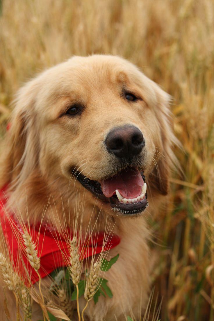 best golden retrievers images on pinterest dog cat
