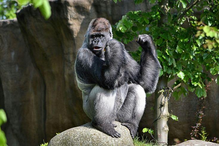 """Rotterdam...De bekende gorilla Bokito uit Diergaarde Blijdorp viert vandaag (14-03-2016)  zijn 20 ste verjaardag....""""Happy Birthday Bokito..""""....L.Loe"""