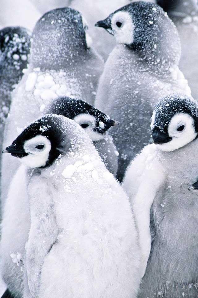 Frozen Penguins Huddled Together for Warmth. °