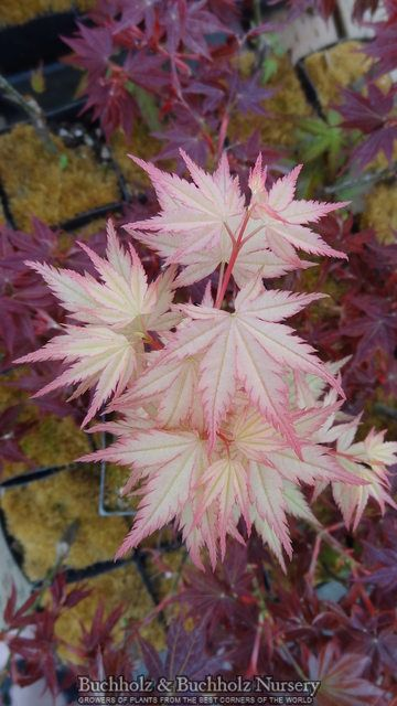 Acer palmatum ' Coral Pink ' Spring Pink Japanese Maple Tree