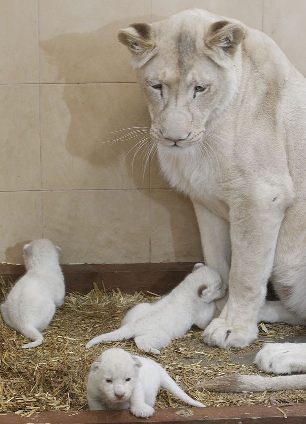 White lioness Azira stands next to her three white cubs ...