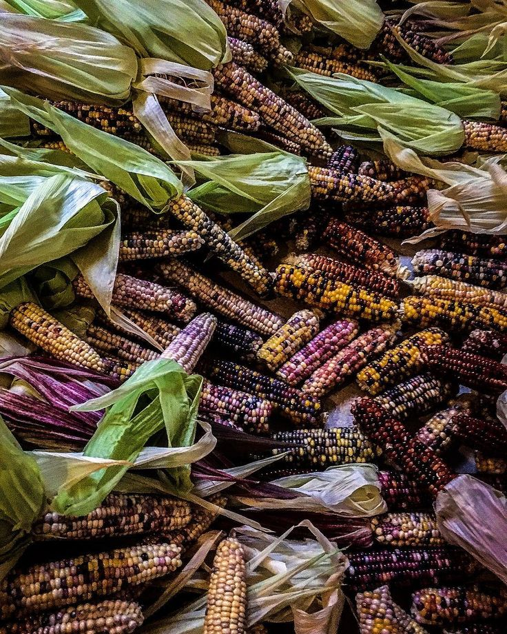 The rain caught us by surprise. #emergency #shucking #glassgemcorn #flintcorn #hot #humid #summer #garden #corn #foodie #tortilla #masa #falldecor #dominusplantarum @dominusplantarum #altadena #plants #farmersmarket