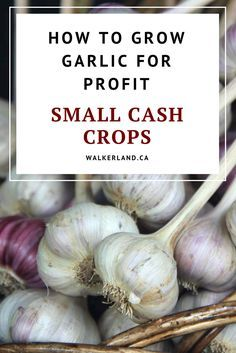 Learn about why garlic is such a great cash crop for homesteads and small farms! Find some tips on how to plan your own cash crop!