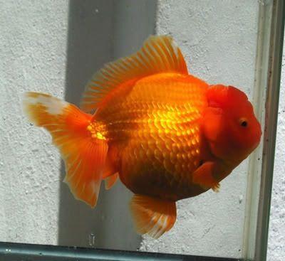 Oranda Gold Fish 34