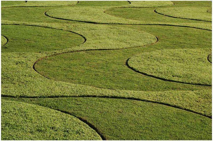 Burle Marx grass .