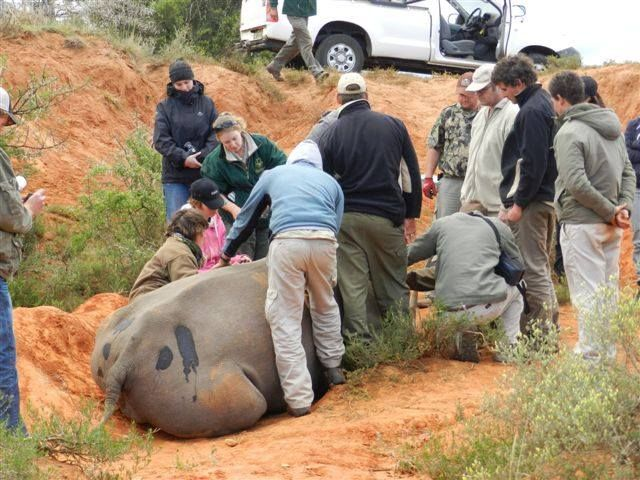 Animal health checks are an important part of maintaining a healthy reserve and an amazing opportunity (when necessary) for our volunteers to get up close and personal to the fauna of Amakhala
