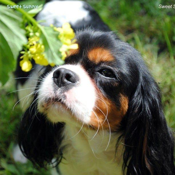 So sweet Sunny! #CavalierKingCharles #Spaniel
