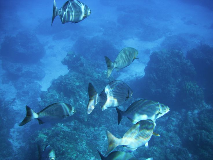 Grunts swimming with me off Cozumel
