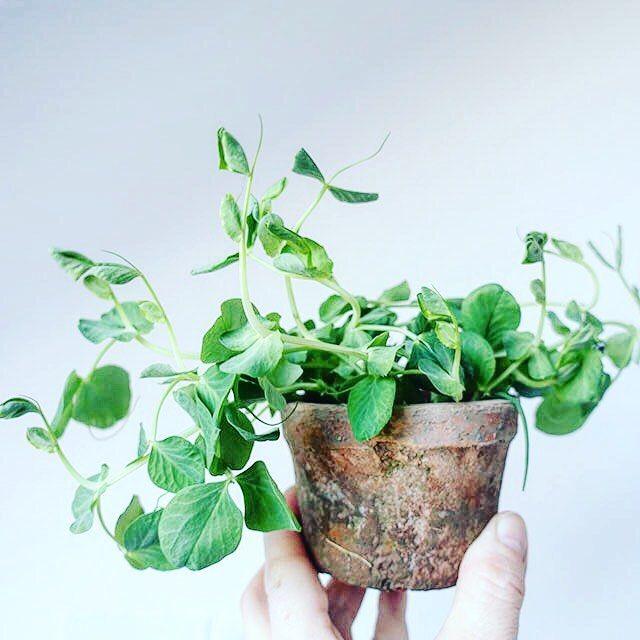 Green inside  Ærteskud galore  #urbangardencompany #growyourown #stadsodling #byhave #dyrkbyen