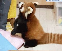 The Cutest GIF Ever - Red Panda GIF - Cosmopolitan