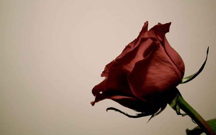 стебель, Роза, лепестки