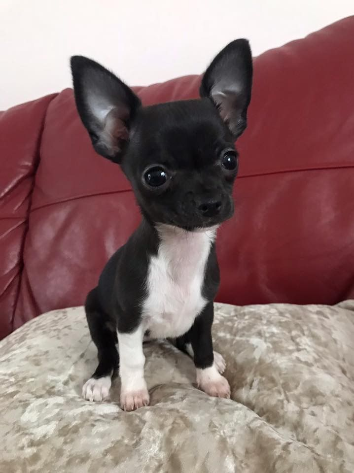 These Ears Hear Everything Chihuahua Chihuahua Puppies