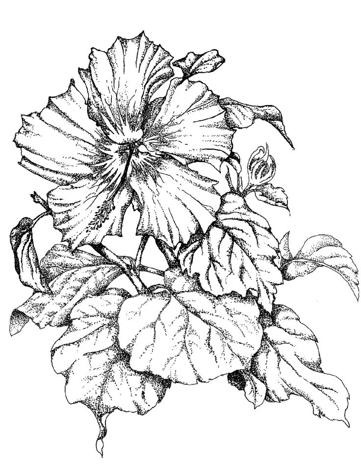 Line Art Hibiscus : Best images about flowers hibiscus on pinterest