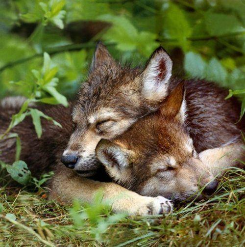 wolf pups cuddling