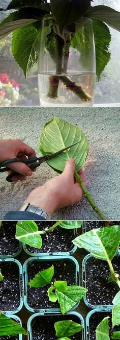 Grow Hydrangea From Cutting