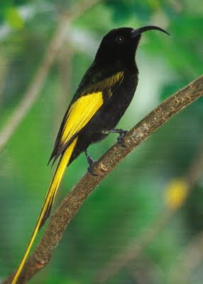 Golden-winged Sunbird (Drepanorhynchus reichenowi) is found in DR of the Congo, Kenya, Tanzania, & Uganda.