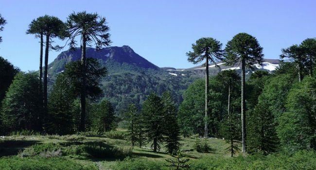 Cinco árboles nativos chilenos - Chile Travel, Araucaria (Araucaria araucana)