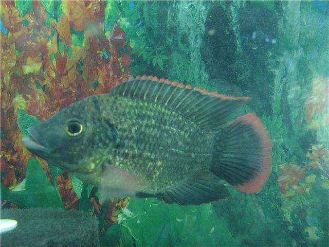 25 best fish farming images on pinterest fish farming for Tilapia aquaponics