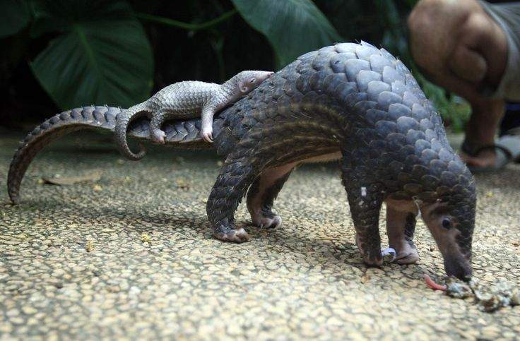Baby Pangolin sleeping on mother's tail. - more at megacutie.co.uk