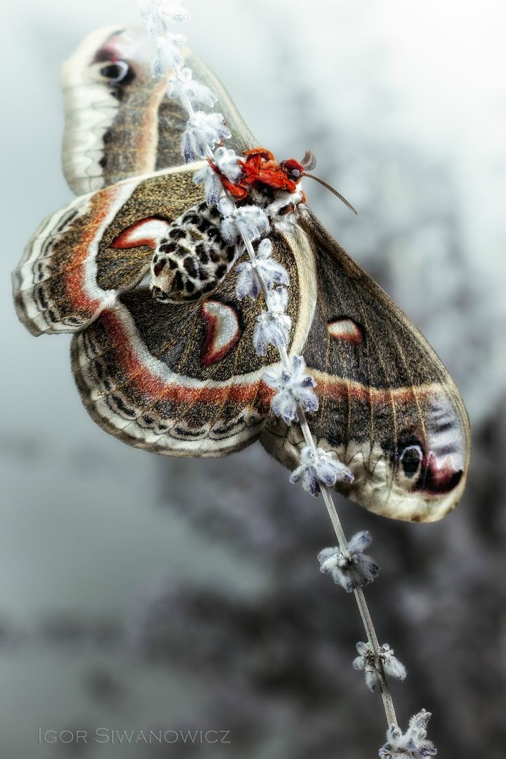 Cecropia moth 1: Photo by Photographer Igor Siwanowicz
