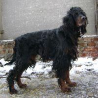 г. Глухов (Украина). Найдена собака породы шотландский сеттер. Просим откликнуться всех кому не безразлична её судьба.