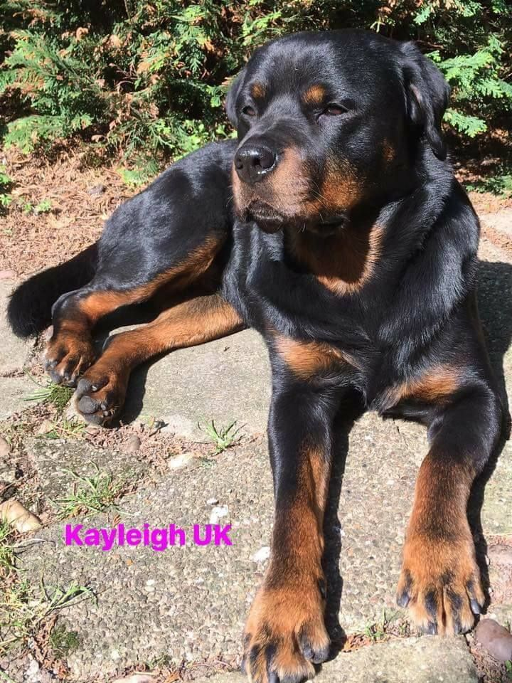 Pin By Schemell Moore On Rottweilers Rottweiler Lovers