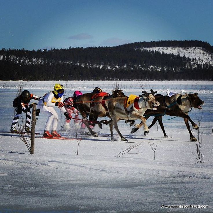 """""""Finally I've seen reindeer race in Lapland! What should be the next to watch? #porocup #reindeer #reindeerrace #animals #lapland #finland # winter #sports…"""""""