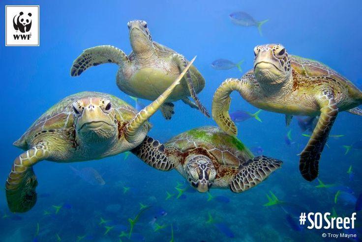 Seis de las siete especies de tortugas marinas del planeta viven en la Gran Barrera de Coral