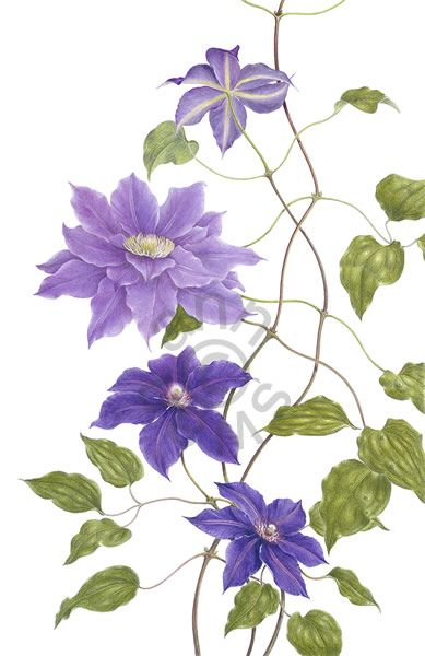 Ann Swan - Clematis 'Vyvyan Pennell' & 'Kingfisher' - colored pencil