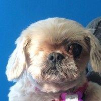 Cute+Muttville+mutt:+Molly+4068+(Shih+tzu+mix+|+Female+|+Size:+small+(6-20+lbs))