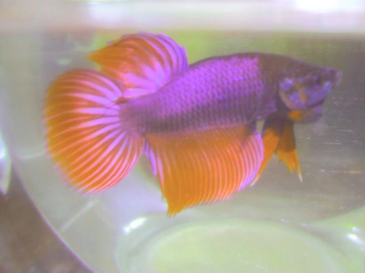 17 best images about bettas for Purple betta fish