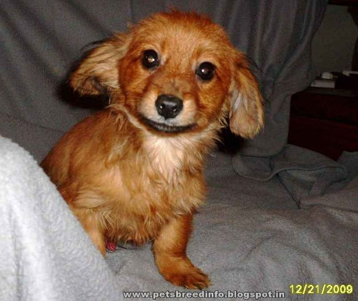 The Dameranian is not a purebred dog. It is a cross between the Dachshund and the Pomeranian.