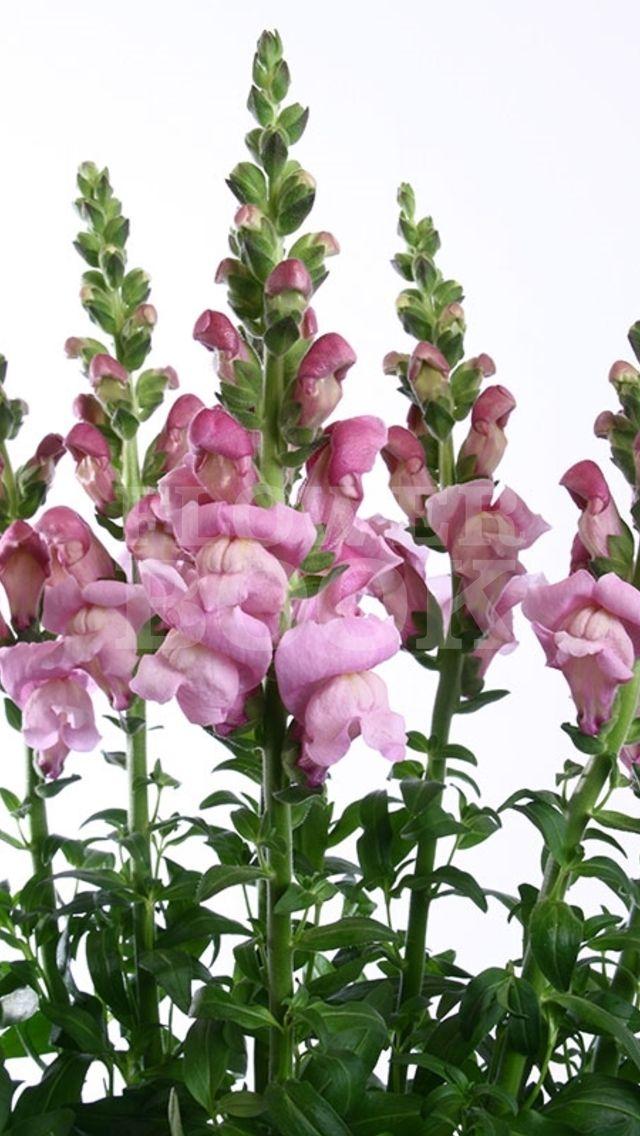 Antirrhinum Maryland Lavender