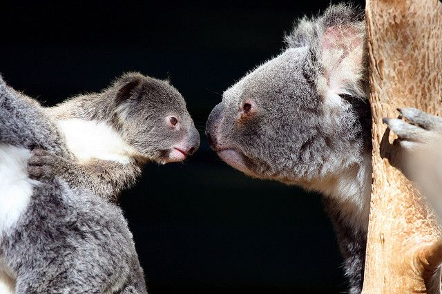 Koalas are my all time favorite animals!!! :D So freakin' cute and adorable!!