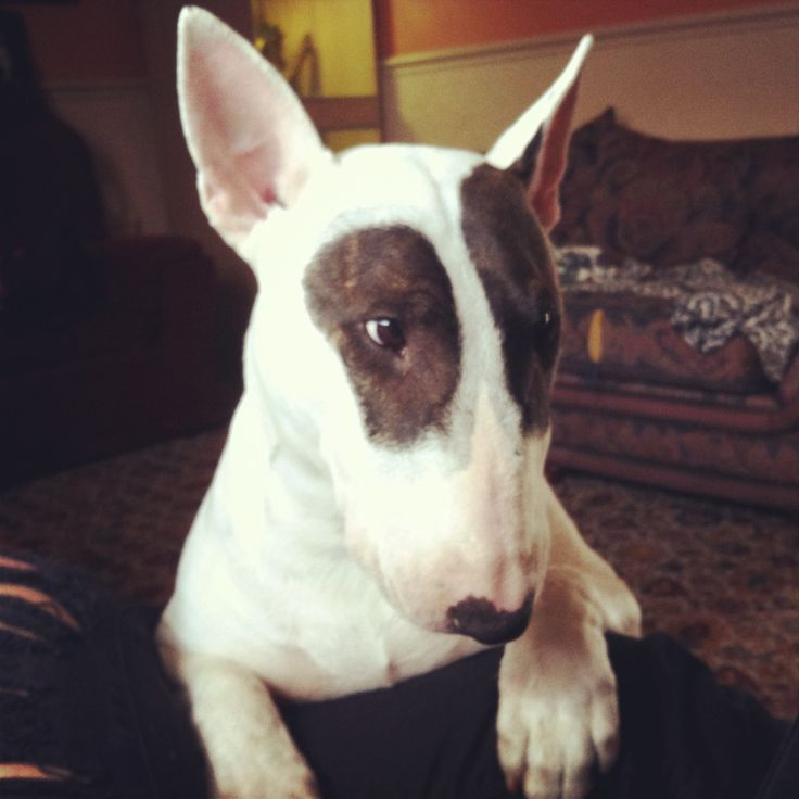 Naughty faced! English Bull Terrier.  Lola <3