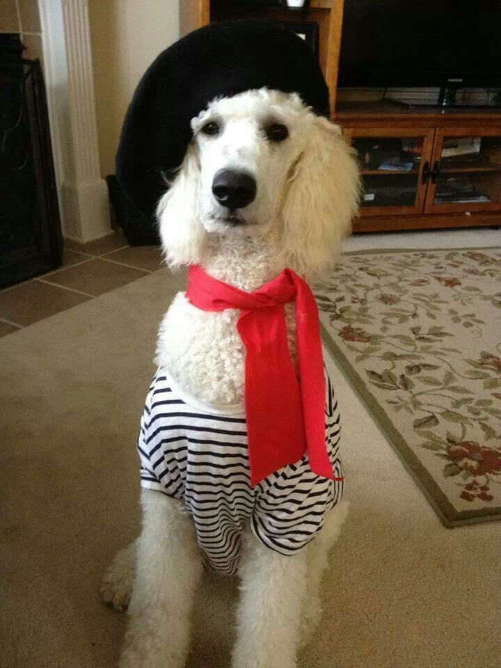 White Standard Poodle, Eiffel.  This is my baby Vlad's  brother!