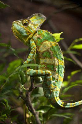 Chameleon Facts For Kids | Chameleon Habitat & Diet