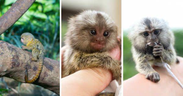 El mono pigmeo (Cebuella pygmaea) es nativo de las selvas tropicales de América del Sur, puede ser visto en países como Brasil, Colombia, Ecuador, Perú y Bolivia.Pero la cualidad de este peculiar mono no radica en dónde se origina, sino en su tamaño: se trata de uno de los primates más pequeños del mundo y es el más pequeño de su especie.Un mono pequeño pero fascinantebluedog studio/ShutterstockEl mono pigmeo mide...
