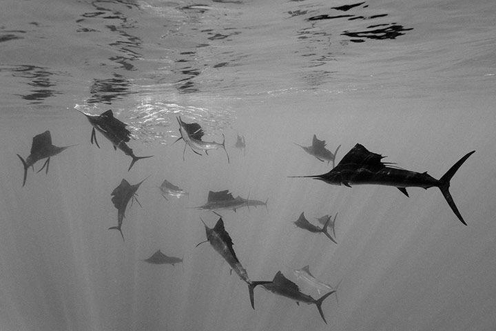 Atlantic sailfish attacking Spanish sardines