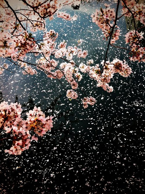 Image result for japanese art fallen cherry blossom