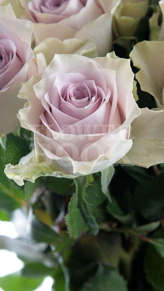 Rose Morning Dew!