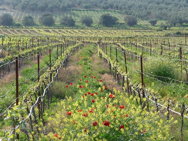 Nemea - Vineyards