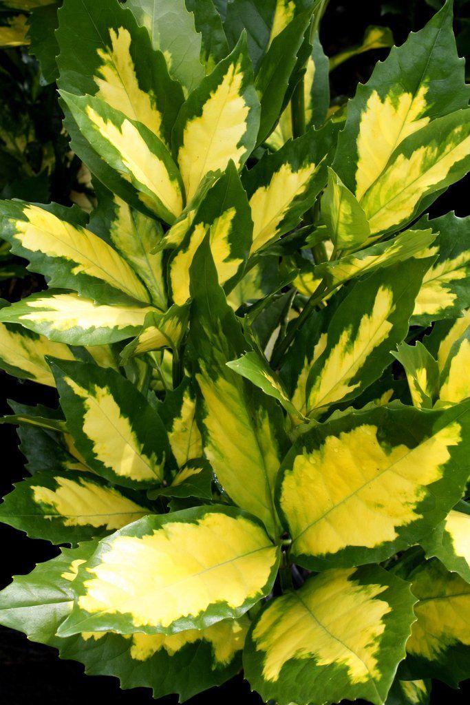 Aucuba japonica Ooba Nakafu  Gardens  Flowers  Garden