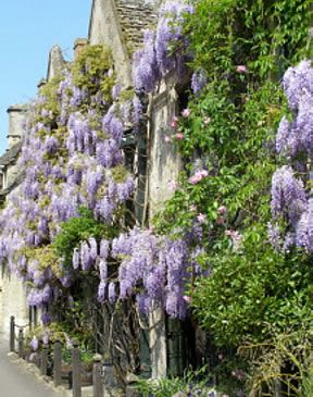 Wisteria climbs over old Cotswold stone houses, Burford, England