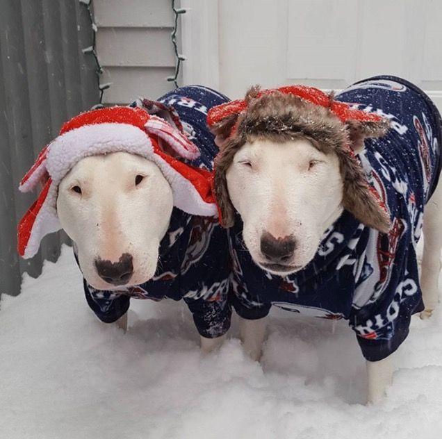 Christmas terriors