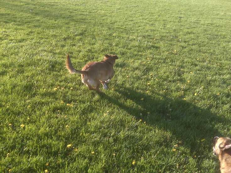 No dog is happier than when they are running and romping in play :)