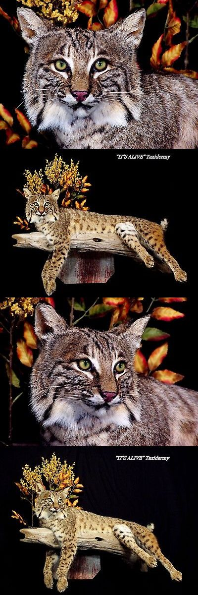 Small Animals 71129: Bobcat Taxidermy Mount Coyote Fox Lynx Dog Hunting Man Cave -> BUY IT NOW ONLY: $1195 on eBay!