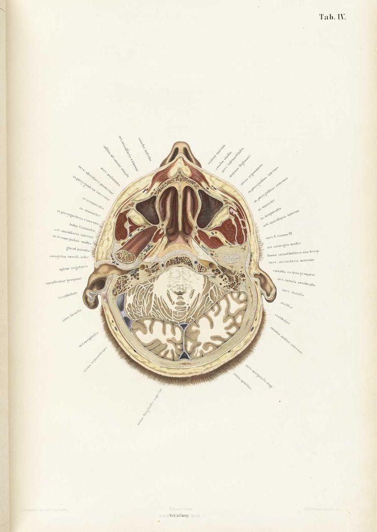 Topographisch-anatomischer Atlas nach Durchschnitten an gefrornen Cadavern - Wilhelm Braune, 1872