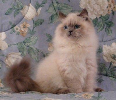 Persian Cat White Virginia Doll Face Persian CT Doll Face